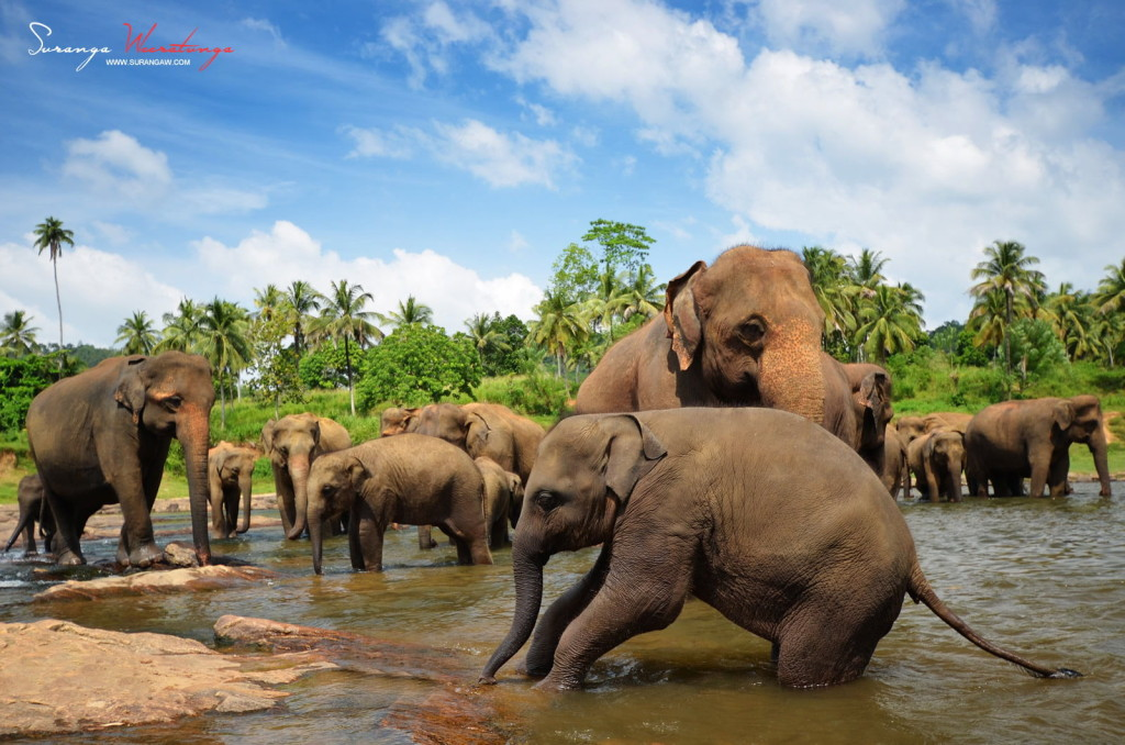 Amazing Travel Photography, Elephants in Sri Lanka