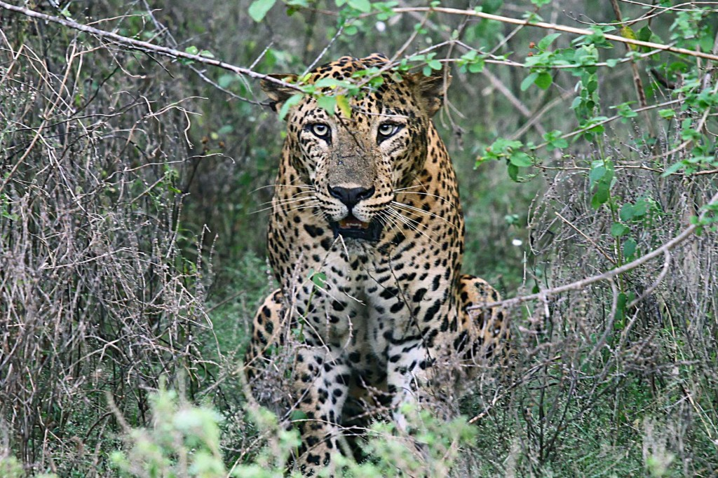 Leopard Sri Lanka - Sri Lanka in 5 Images